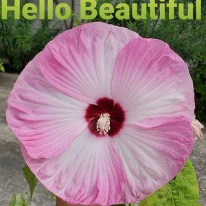 Other - Luna pink swirl hibiscus from my garden